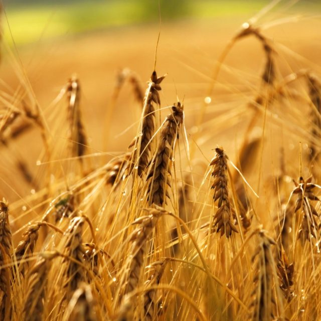 Free photo - Wheat field